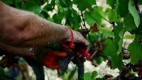 Grape harvest close up hands stock footage