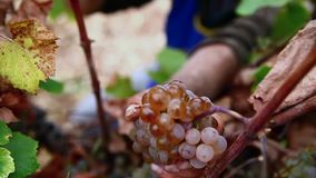 Grape harvest close up hands stock footage