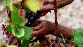 Grape harvest close up hands stock video