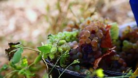 Grape harvest close up hands stock video