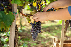 The Grape Harvest Royalty Free Stock Image