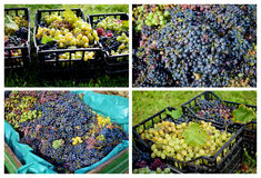 Grape harvest. Collage in vineyard Stock Image