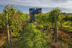 The grape harvest combine , Grape harvesting machine, combine-harvester Tuscany, Italy Royalty Free Stock Images