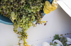 Grape harvest, the farmer put the raisins in the modern machine for squeeze the grapes. Chianti Region, Tuscany, Italy Royalty Free Stock Photos
