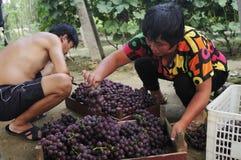 Grape harvest farmers Royalty Free Stock Image