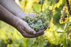 Grape harvest. Farmers hands holding grapes. Royalty Free Stock Photo