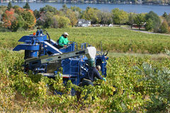 Grape harvest at a Finger Lakes vineyard. Mechanized harvest of grapes at a vineyard on Seneca Lake, in the Finger Lakes region of New York State Stock Images