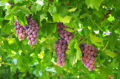 The grape harvest Stock Photos