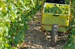Grape harvest Royalty Free Stock Photos