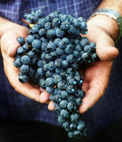 Grape harvest in Italy Stock Image