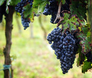 Grape harvest in Italy Stock Photography