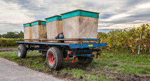 Grape Harvest IV Stock Image