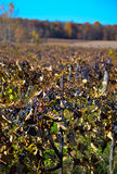 Grape harvest in Michigan Royalty Free Stock Image