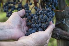 Grape harvest Royalty Free Stock Photo