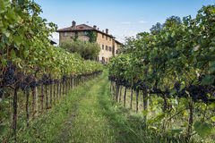 Grape harvest Royalty Free Stock Image