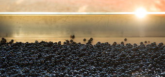 Grape harvest, red bay on the sorting table Royalty Free Stock Photography