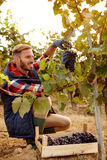 Grape harvest smiling worker vintner on vineyard. Grape harvest smiling worker vintner on family vineyard stock image