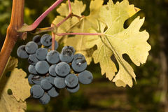 Grape harvest in Sonoma county Royalty Free Stock Photography