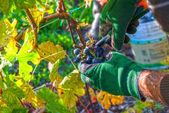 Grape harvest time Stock Image