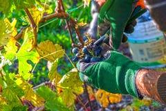 Grape harvest time. Near mount Conero, Italy Stock Image