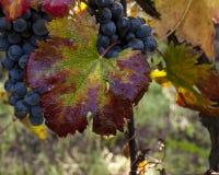 Grape harvest time Royalty Free Stock Photo
