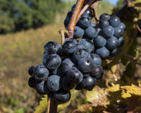 Grape harvest time. Near mount Conero, Italy Royalty Free Stock Images