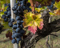 Grape harvest time Stock Images