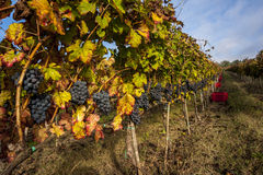 Grape harvest time Stock Photography