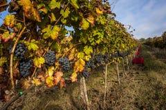 Grape harvest time. Near mount Conero, Italy Stock Photography