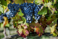Grape harvest time Royalty Free Stock Image