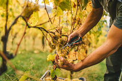 Grape harvest in the Tuscan hills. Royalty Free Stock Images
