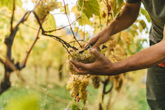Grape harvest in the Tuscan hills. Royalty Free Stock Image
