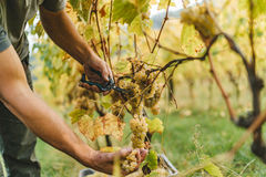 Grape harvest in the Tuscan hills. Royalty Free Stock Photography