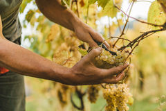 Grape harvest in the Tuscan hills. Stock Images