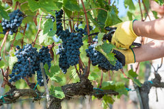 Grape harvest. In Tuscany, Italy Royalty Free Stock Images