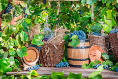 Grape harvest in a village Stock Photos