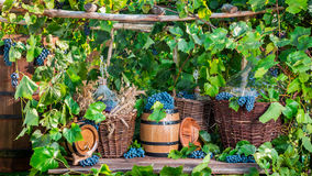 Grape harvest in a village in old fashioned style Stock Photography