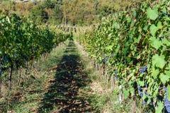 Grape harvest of Vineyard in Chianti region. Tuscany. Italy. Grape harvest of Vineyard in Chianti region in Tuscany. Italy royalty free stock images