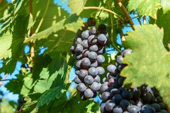 Grape harvest of Vineyard in Chianti region. Tuscany. Italy. Grape harvest of Vineyard in Chianti region in Tuscany. Italy stock photos