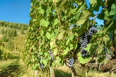 Grape harvest of Vineyard in Chianti region. Tuscany. Italy. Grape harvest of Vineyard in Chianti region in Tuscany. Italy royalty free stock photo