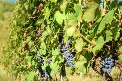 Grape harvest of Vineyard in Chianti region. Tuscany. Italy. Grape harvest of Vineyard in Chianti region in Tuscany. Italy stock photography