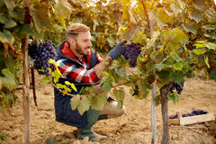 Grape harvest worker vintner on vineyard stock image