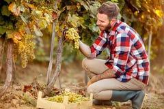 Grape harvest - worker working in vineyard. Grape harvest – smiling worker working in vineyard royalty free stock photo
