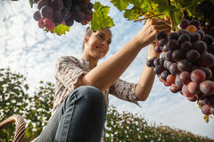 The Grape Harvest Royalty Free Stock Photography