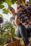 The Grape Harvest Royalty Free Stock Photo