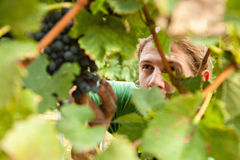 The Grape Harvest Stock Images