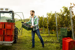 Grape harvest Stock Image