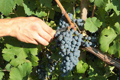 Grape harvesting Royalty Free Stock Photography