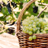 Grape harvesting Stock Photography