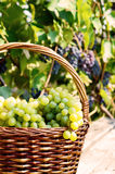 Grape harvesting Stock Images